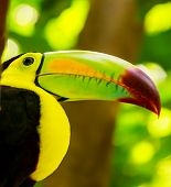 foto of toucan  - Closeup of colorful toucan bird somewhere in Mexico - JPG