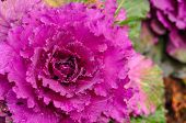 picture of clos  - big pink flower clos up in detail - JPG