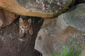 image of creeping  - Grey Wolf  - JPG