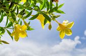 Golden Trumpet Flower Or Allamanda Cathartica