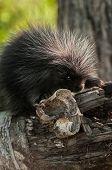 Baby Porcupine (erethizon Dorsatum) With Birch Curl