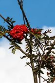 picture of rowan berry  - Close up of Rowan berries on a branch of a Rowan tree - JPG