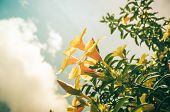 stock photo of trumpet flower  - Golden Trumpet flower or Allamanda cathartica in the garden or nature park vintage - JPG