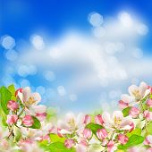 Apple Blossoms Over Blurred Blue Sky Background