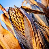 image of corn stalk  - Corn closeup on the stalk. Detail of dried corncob on the field ready for autumn harvesting.