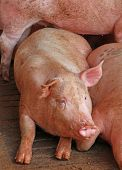 foto of pig-breeding  - breeding of pink pigs in the sty of the breeder farm - JPG