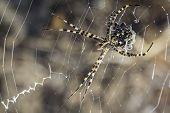 female spider - Argiope lobata