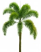 Wodyetia (foxtail Palm). Palm Tree Isolated On White