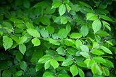 Elm Leaves - Natural Green Background