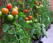 Homegrown Tigerella Tomatoes