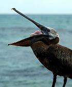 Pelikan with open beak