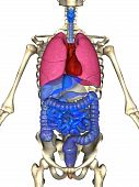 3D rendering of the major organ systems in the human body