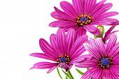 Flowers Of Gazania. (splendens Genus Asteraceae) .