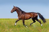 Stallion trotting