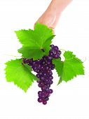 Branch Of Black Grapes Hold In Hand.