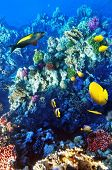 stock photo of shoal fish  - Coral and fish in the Red Sea - JPG