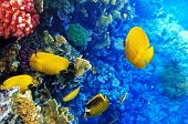 picture of butterfly fish  - Coral and fish in the Red Sea. Egypt Africa ** Note: Soft Focus at 100%, best at smaller sizes - JPG