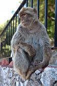 stock photo of macaque  - Barbary macaque, or Barbary ape, or Maghreb macaques - the only monkeys living in the wild in Europe (Gibraltar). [[** Note: Shallow depth of field - JPG