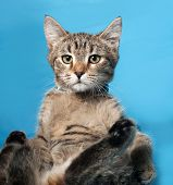 picture of blue tabby  - Tabby nice  nice kitten on blue background - JPG