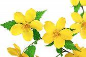image of cruciferous  - Marsh Marigold Yellow wildflowers isolated on white background - JPG