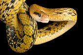 image of tree snake  - Taiwan Beauty Snake hanging from a tree - JPG