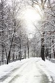 image of snow forest  - Silent snow - JPG
