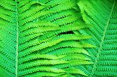 picture of fern  - Fresh bright green fern leaves as a background - JPG