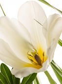 pic of stamen  - beautiful delicate white tulip with a yellow center and gray pestle and stamens on a white background - JPG