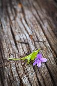 stock photo of viola  - fresh violet flower on an old wooden table Viola odorata - JPG
