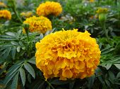 picture of marigold  - Yellow Marigold flower with green leaves in garden - JPG