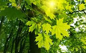 pic of maple tree  - Beautiful fresh spring leaves of maple tree and sunlight - JPG