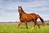 picture of stallion  - Red stallion trottin in the meadow against beautiful sky