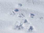 foto of animal footprint  - animal footprint on snow - JPG