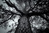 picture of canopy  - Foggy overhangs canopy of large tree in black and white - JPG