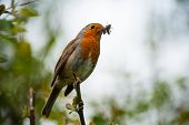 picture of robin bird  - cute little red robin bird eating an insect - JPG
