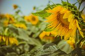 image of sunflower  - Close up of sunflower in sunflower field.