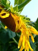 Leaning Sunflower