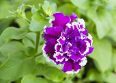 picture of petunia  - Beautiful purple Petunia Grandiflora Terry  - JPG