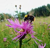 stock photo of bumble bee  - a bumble bee on a thistle flower - JPG