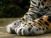 A Leopards Paws