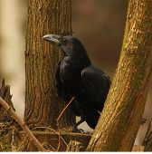 raven resting on the branch / Corvus corax