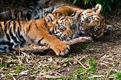 Dos cachorros de tigre de Sumatra lindo jugar