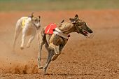 Sprinter greyhound
