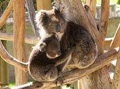 Koala & Cub