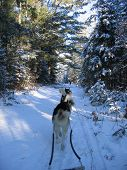 Dogsledding In The Deep Forest - Quebec