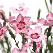 Flores rosas sobre fondo blanco