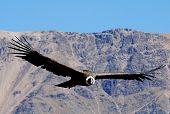 Condor em Colca