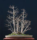 Field Maple As Bonsai In Winter
