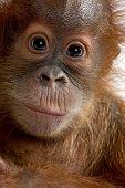 Baby Sumatran Orangutan (4 months old)
