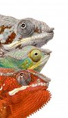 Close-up of colorful Chameleon Furcifer Pardalis, Masoala, 4 years old, in front of white background